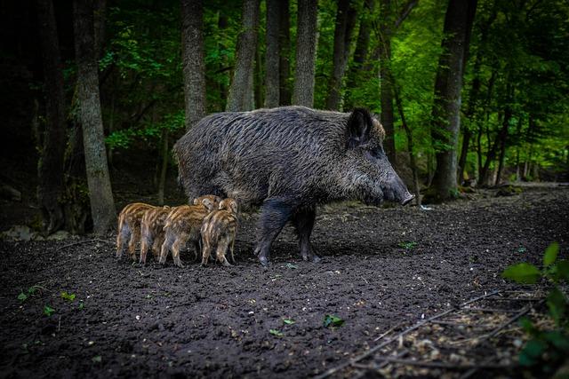 Hur ska du agera om du möter ett vildsvin i skogen?