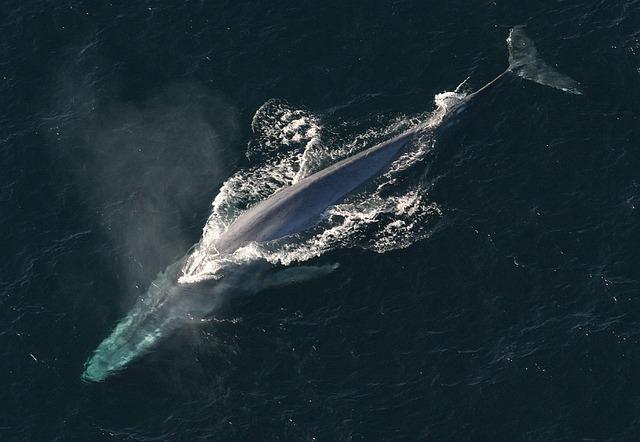 Blåval - världens största djur.