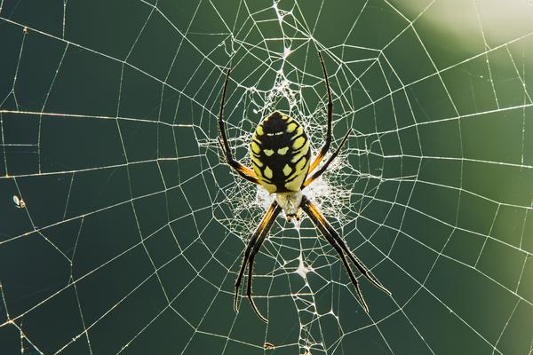 Spindel gör en vacker spindelväv