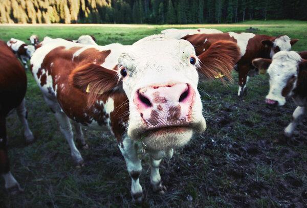 Mycket gas i en ko.