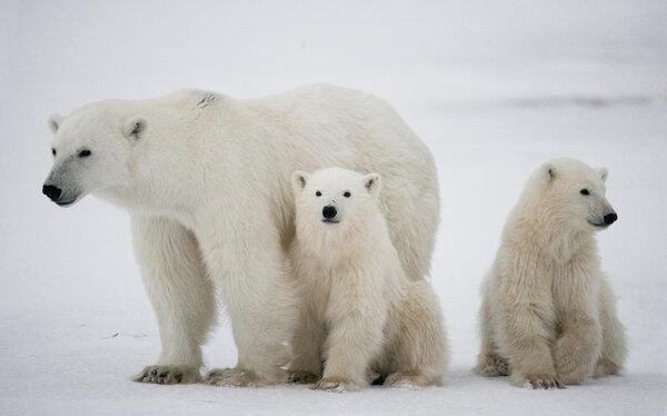 Isbjörnar - tre stycken.