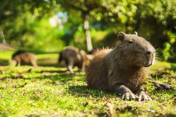 Kapybara - kopplar av på gräset