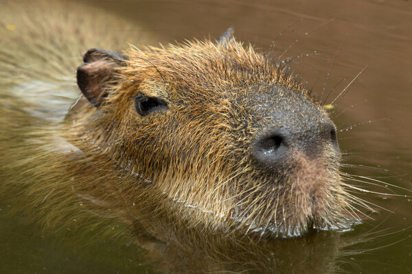 Kapybara - vid varma dagar ligger den helst och svalkar sig en en vattenpöl.