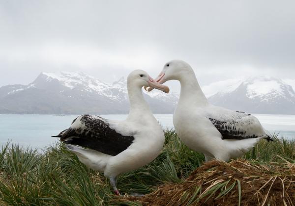 fakta om albatrosser