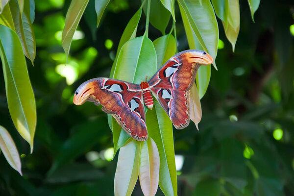 Atlasspinnare - fjärilen spinner kokonger av silke som man använder till olika föremål.