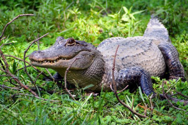 fakta om alligatorer